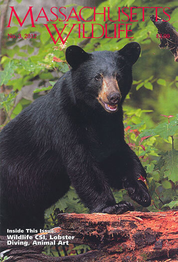 Latest issue of Massachusetts Wildlife Magazine
